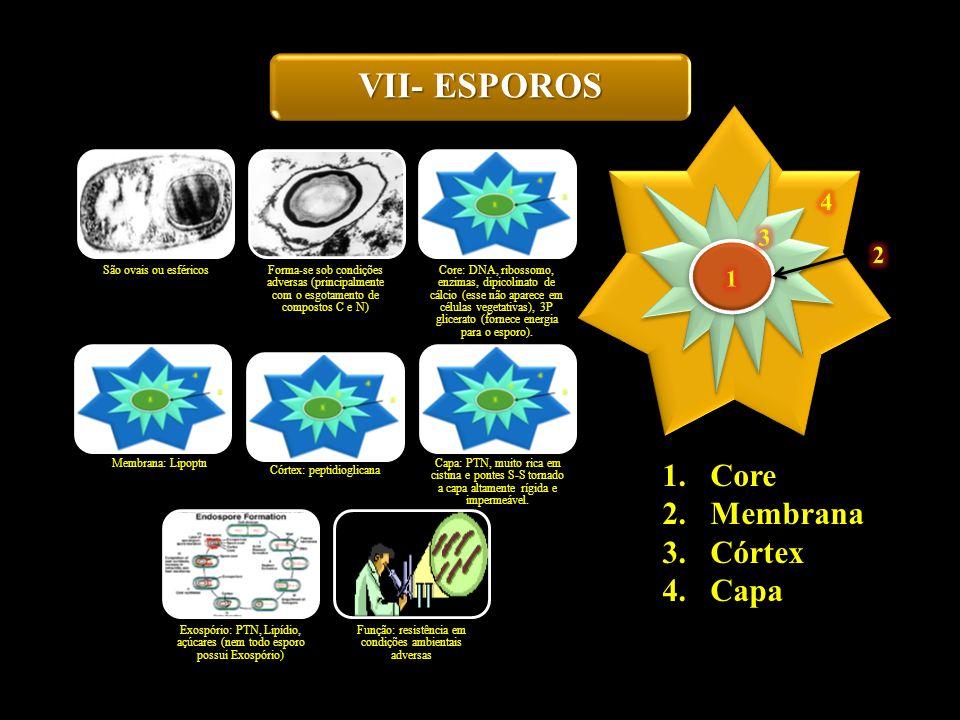 VII- ESPOROS São ovais ou esféricos Forma-se sob condições adversas (principalmente com o esgotamento de compostos C e N) Core: DNA, ribossomo, enzima