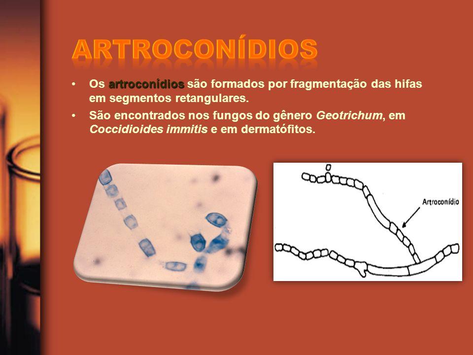 artroconídiosOs artroconídios são formados por fragmentação das hifas em segmentos retangulares. São encontrados nos fungos do gênero Geotrichum, em C