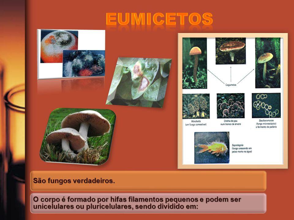 São fungos verdadeiros. O corpo é formado por hifas filamentos pequenos e podem ser unicelulares ou pluricelulares, sendo dividido em: