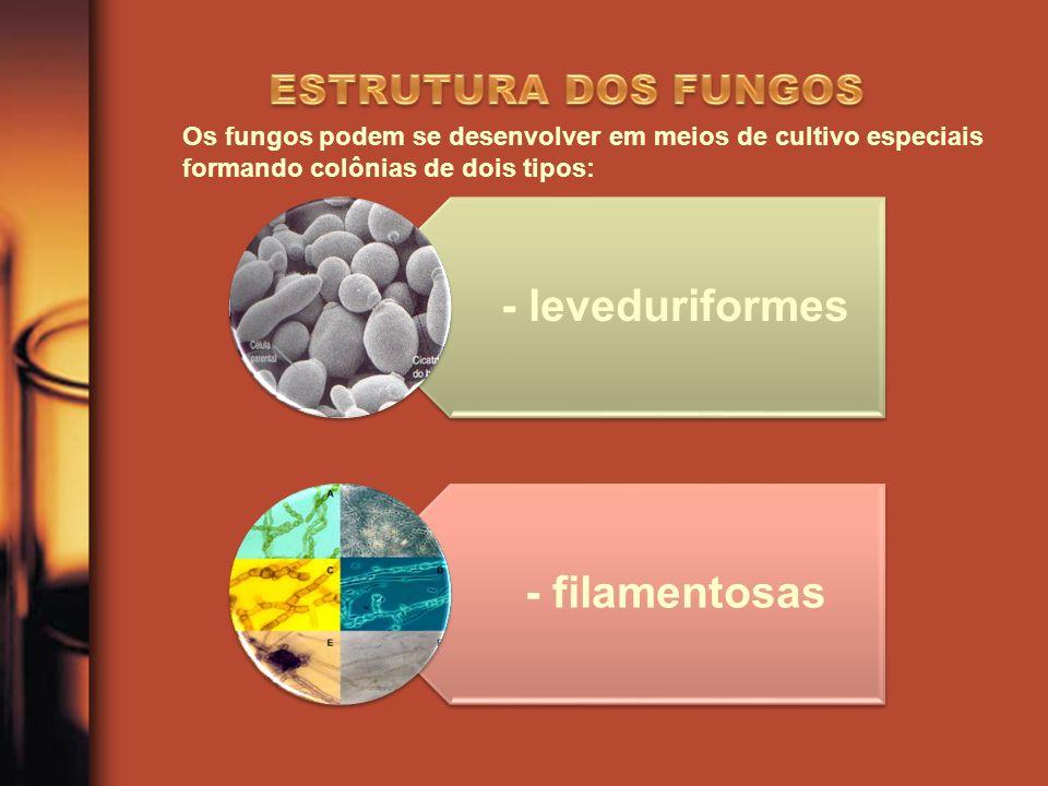 - leveduriformes - filamentosas Os fungos podem se desenvolver em meios de cultivo especiais formando colônias de dois tipos: