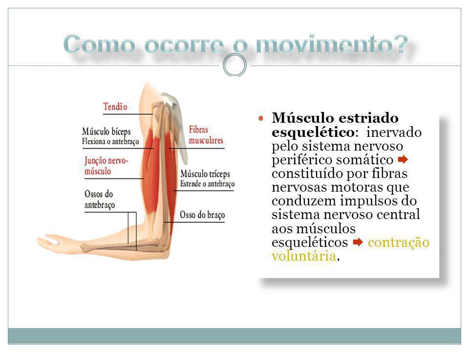 Músculo estriado esquelético: inervado pelo sistema nervoso periférico somático constituído por fibras nervosas motoras que conduzem impulsos do siste