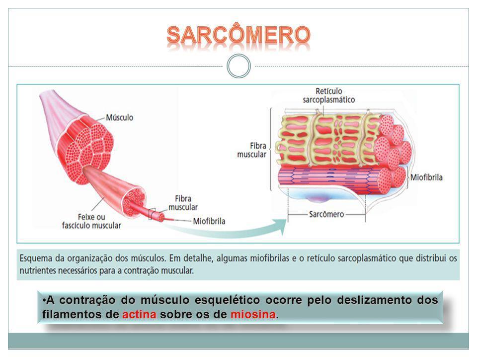 A contração do músculo esquelético ocorre pelo deslizamento dos filamentos de actina sobre os de miosina.A contração do músculo esquelético ocorre pel