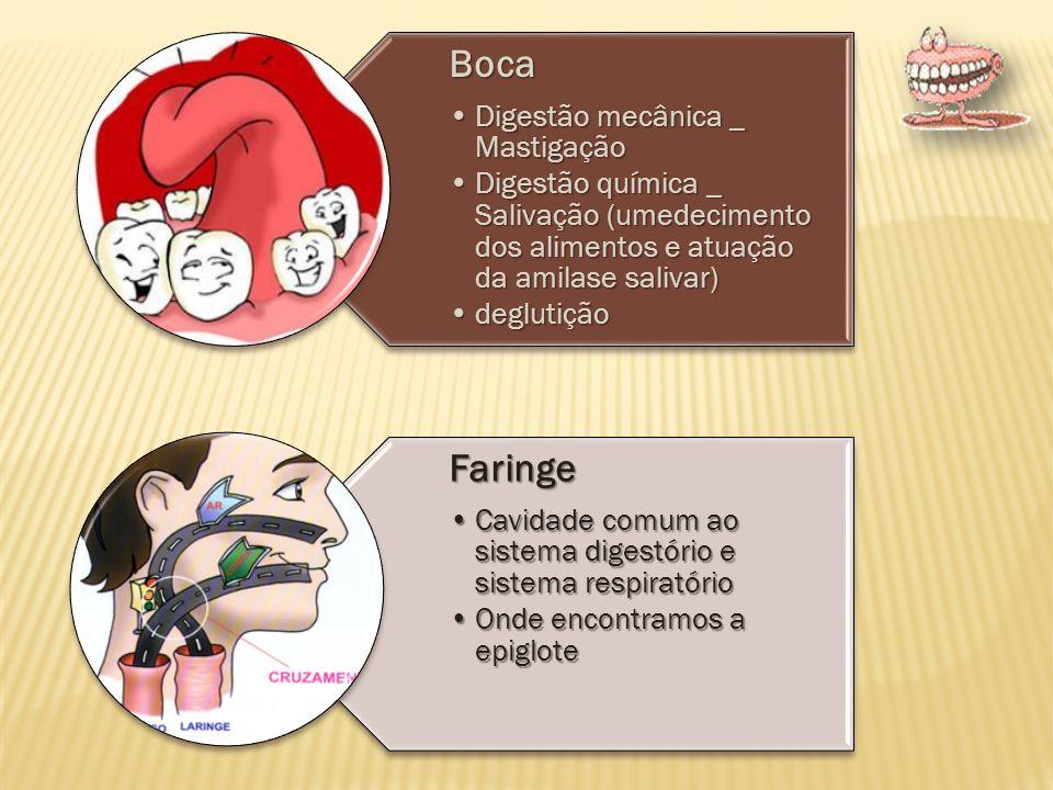 Esôfago Responsável pelo transporte dos alimentos até o estomago Isso ocorre atreves dos movimentos peristálticos Estômago suco gástrico (pH ácido e muco (proteção).