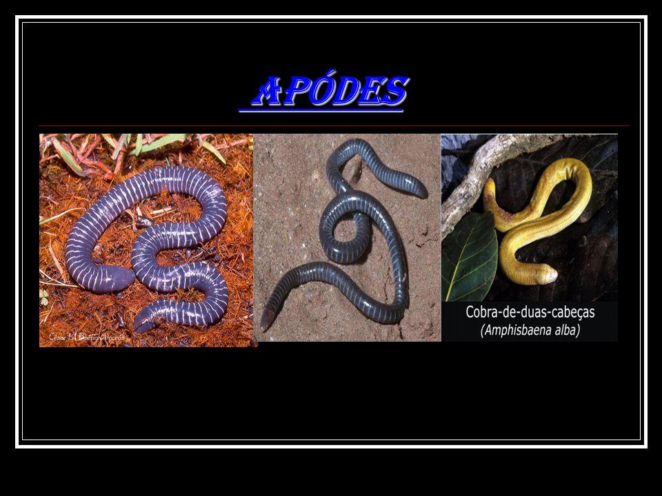 APÓDES APÓDES