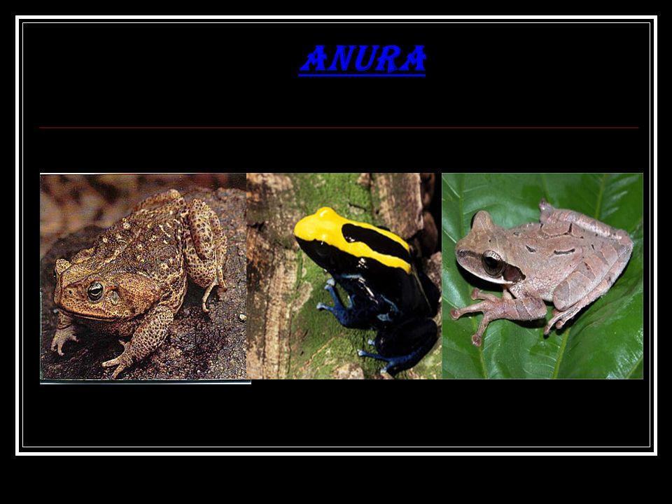 A maioria dos anuros são caracterizados por longas patas posteriores, corpo curto, membranas interdigitais (nos dedos das mãos ou dos pés), olhos protuberantes e a ausência de cauda.