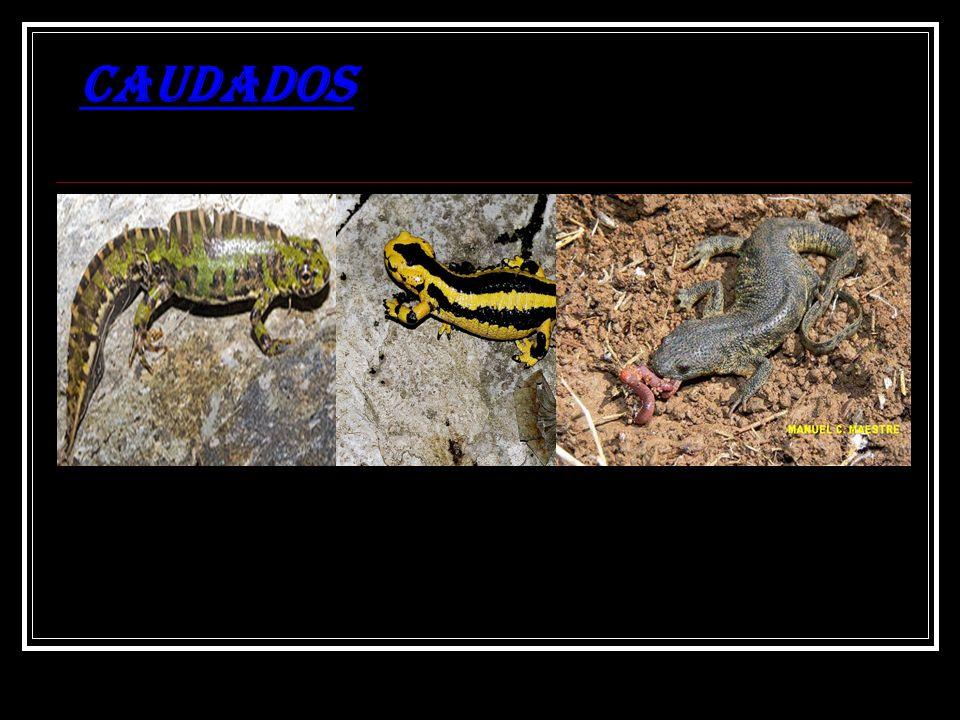 Os caudados ( do latim caudados, com cauda), também chamados de urodelos, constituem uma ordem de anfíbios, que compreende as salamandras e os tritões, com cerca de 556 espéciesordemanfíbiossalamandrastritões