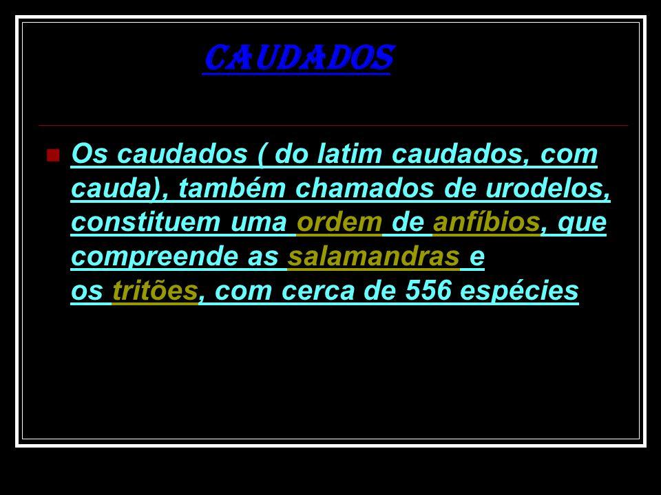 Os caudados ( do latim caudados, com cauda), também chamados de urodelos, constituem uma ordem de anfíbios, que compreende as salamandras e os tritões