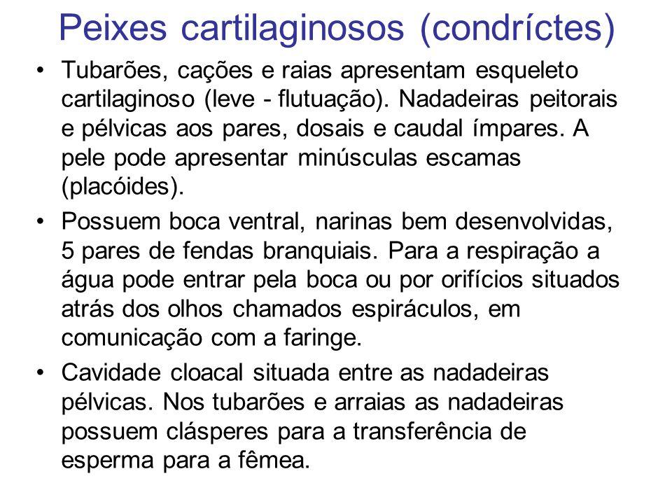 Peixes cartilaginosos (condríctes) Tubarões, cações e raias apresentam esqueleto cartilaginoso (leve - flutuação). Nadadeiras peitorais e pélvicas aos