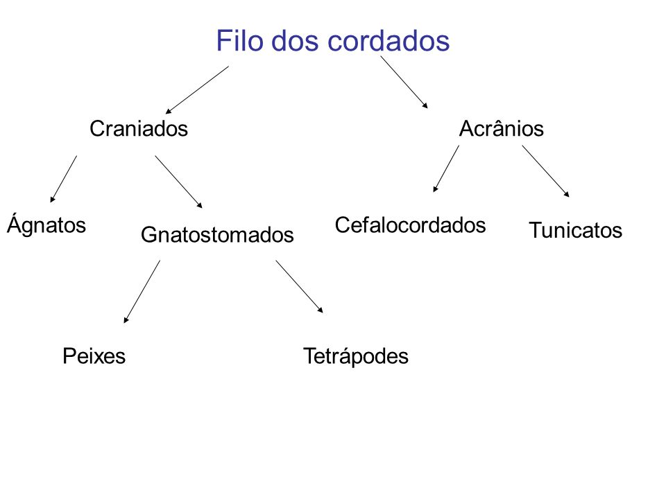Filo dos cordados Craniados Acrânios Cefalocordados Tunicatos Ágnatos Gnatostomados PeixesTetrápodes