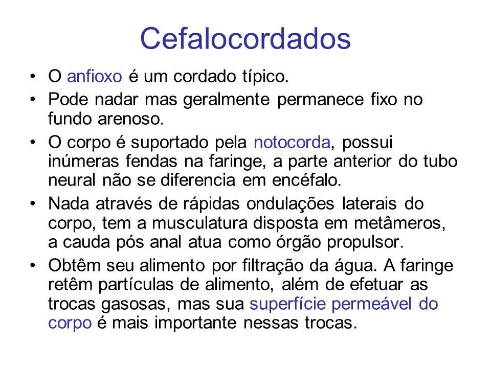 Cefalocordados O anfioxo é um cordado típico. Pode nadar mas geralmente permanece fixo no fundo arenoso. O corpo é suportado pela notocorda, possui in