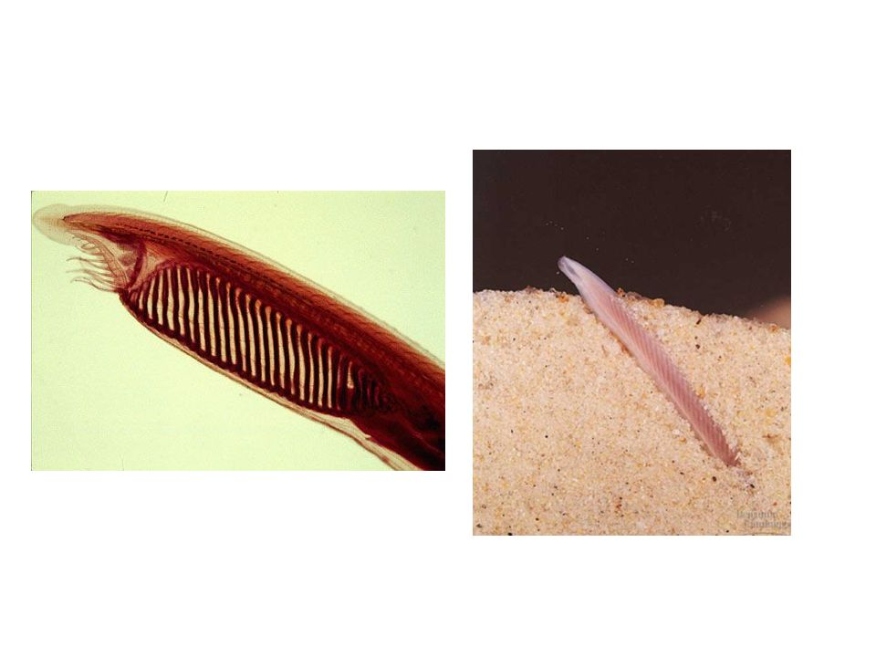Urocordados ou Tunicatos A larva da ascídia tem forma aproximada de um girino, a notocorda e a maior extensão do cordão nervoso dorsal situam-se na cauda propulsora, a qual é reabsorvida.