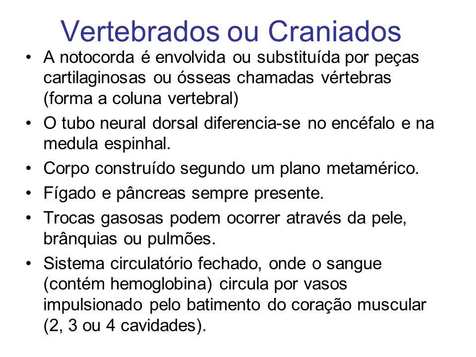 Vertebrados ou Craniados A notocorda é envolvida ou substituída por peças cartilaginosas ou ósseas chamadas vértebras (forma a coluna vertebral) O tub