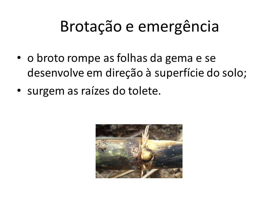 Brotação e emergência o broto rompe as folhas da gema e se desenvolve em direção à superfície do solo; surgem as raízes do tolete.
