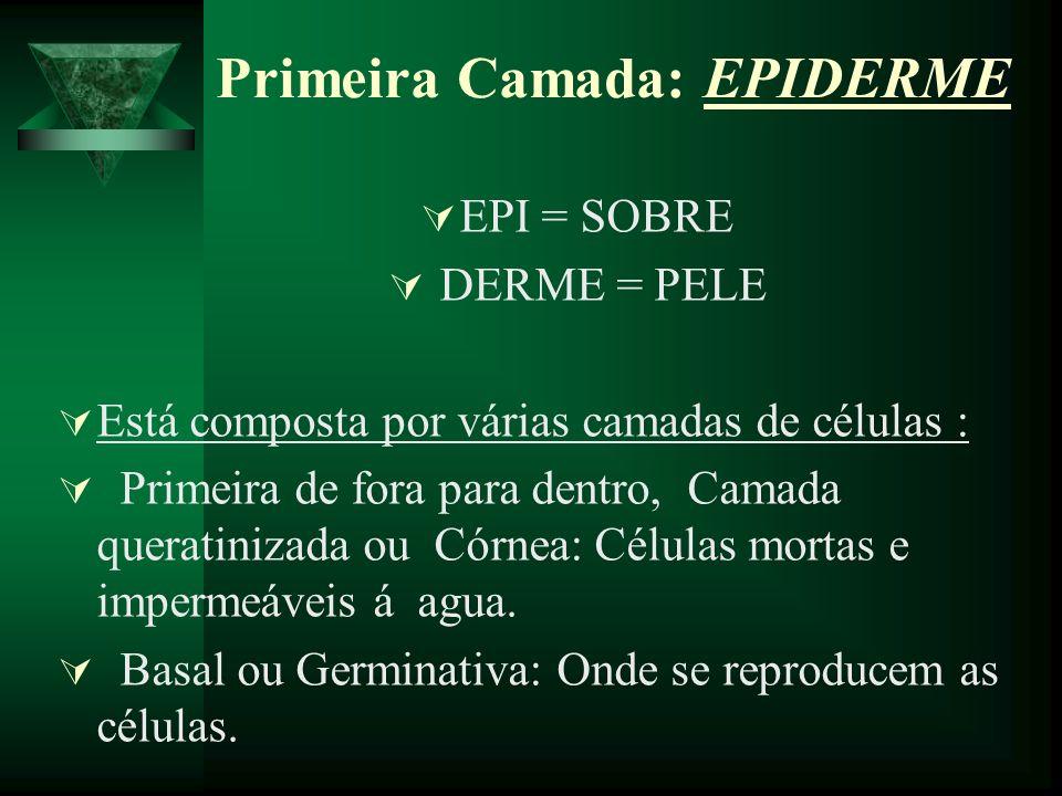 Primeira Camada: EPIDERME EPI = SOBRE DERME = PELE Está composta por várias camadas de células : Primeira de fora para dentro, Camada queratinizada ou
