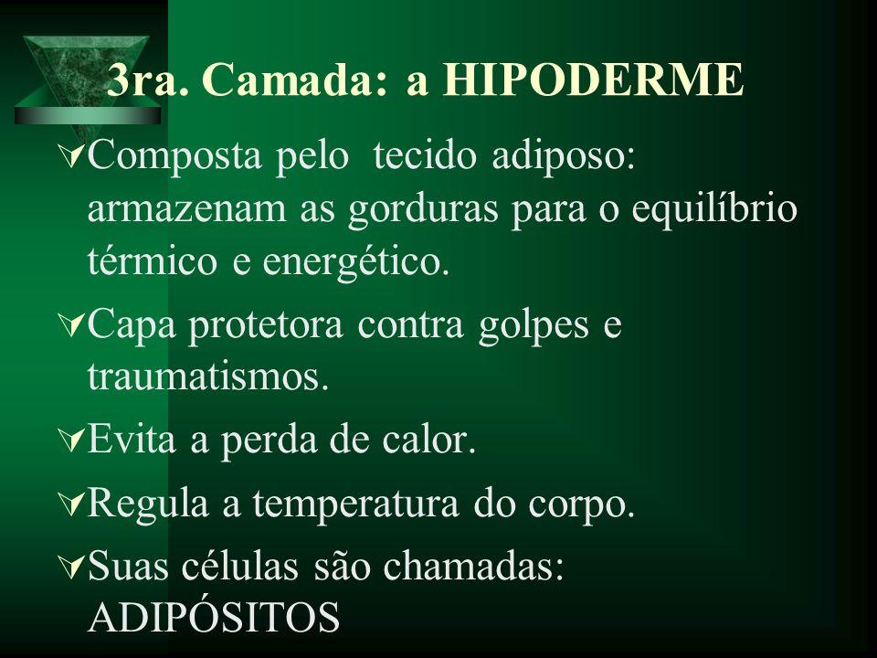 3ra. Camada: a HIPODERME Composta pelo tecido adiposo: armazenam as gorduras para o equilíbrio térmico e energético. Capa protetora contra golpes e tr