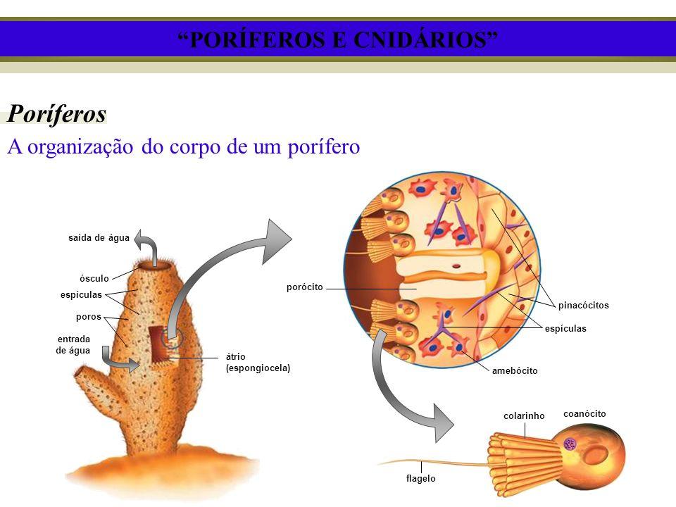 PORÍFEROS E CNIDÁRIOS Poríferos A organização do corpo de um porífero porócito pinacócitos espículas amebócito colarinho coanócito flagelo saída de ág