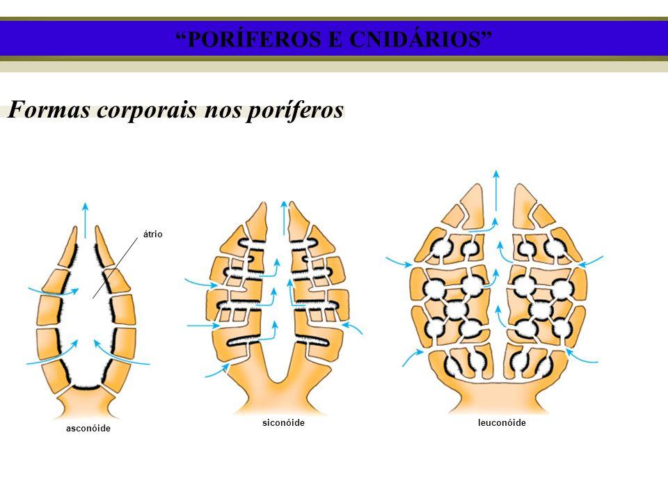 Formas corporais nos poríferos átrio asconóide siconóideleuconóide PORÍFEROS E CNIDÁRIOS
