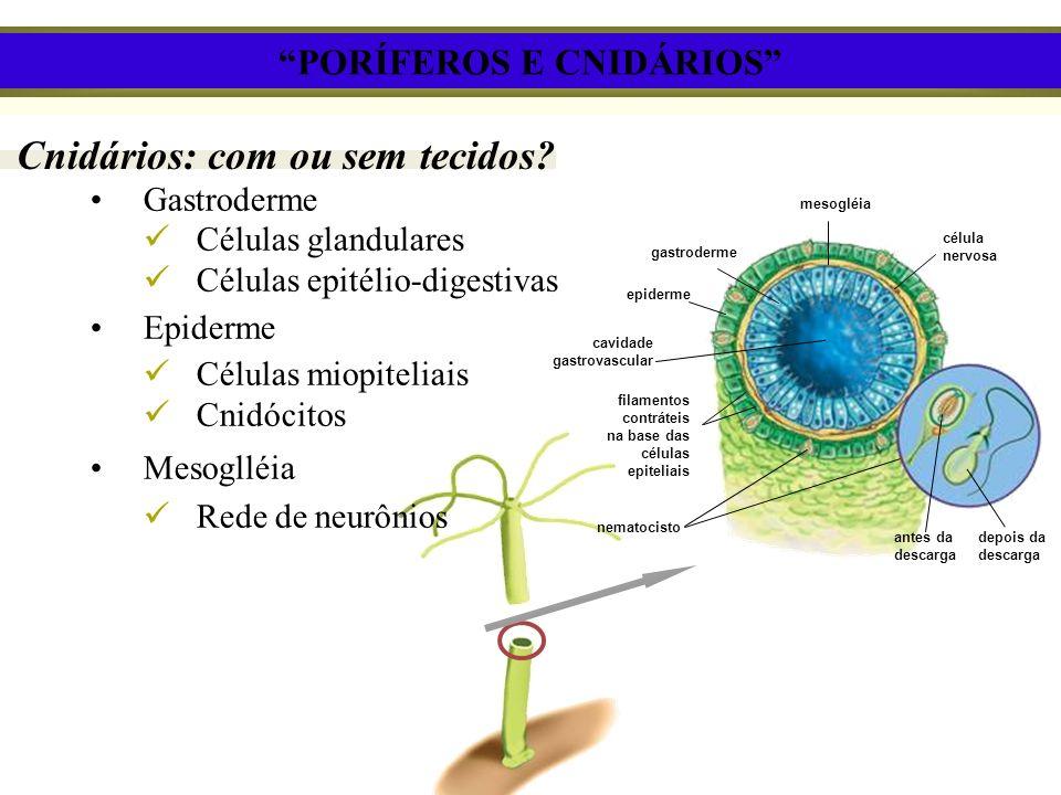 Cnidários: com ou sem tecidos? Gastroderme Células glandulares Células epitélio-digestivas Epiderme Células miopiteliais Cnidócitos Mesoglléia Rede de