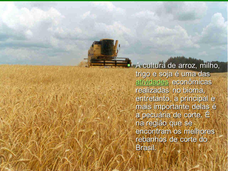 A cultura de arroz, milho, trigo e soja é uma das atividades econômicas realizadas no bioma, entretanto, a principal e mais importante delas é a pecuá