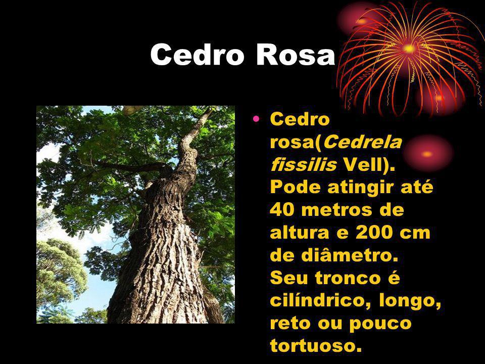 Cedro Rosa Cedro rosa(Cedrela fissilis Vell). Pode atingir até 40 metros de altura e 200 cm de diâmetro. Seu tronco é cilíndrico, longo, reto ou pouco