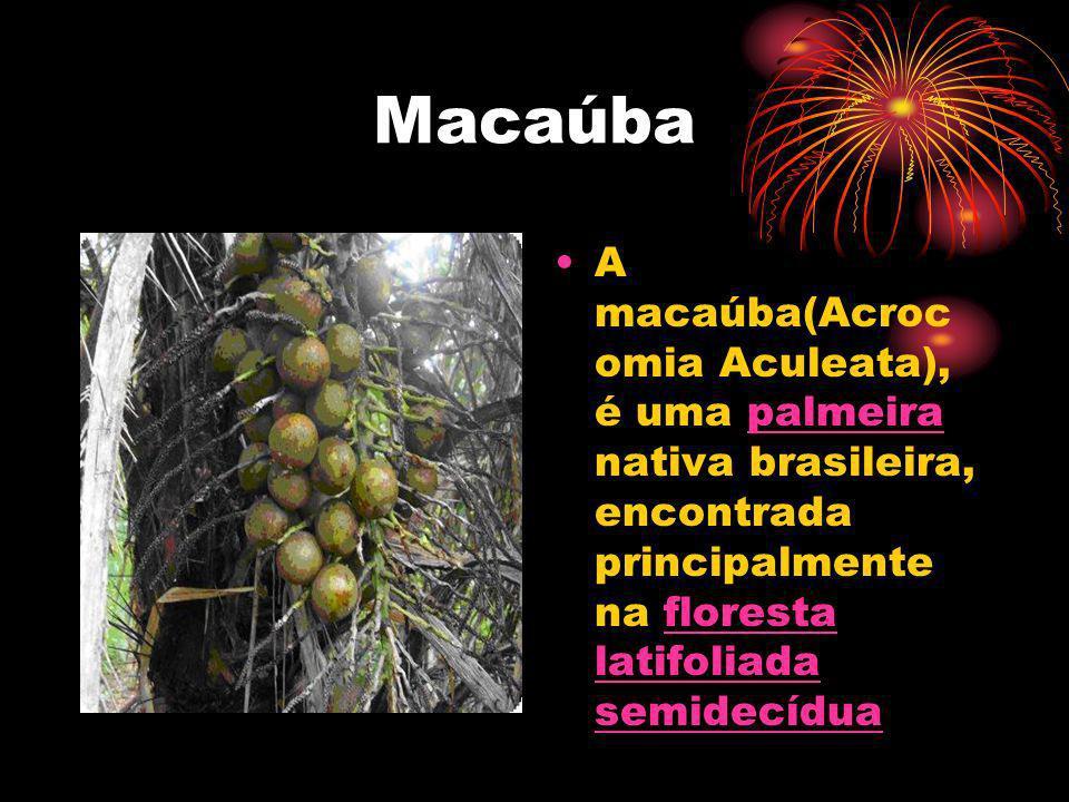 Macaúba A macaúba(Acroc omia Aculeata), é uma palmeira nativa brasileira, encontrada principalmente na floresta latifoliada semidecíduapalmeiraflorest