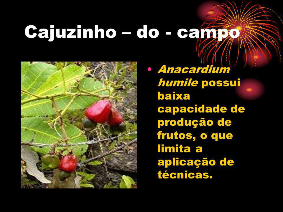 Cajuzinho – do - campo Anacardium humile possui baixa capacidade de produção de frutos, o que limita a aplicação de técnicas.