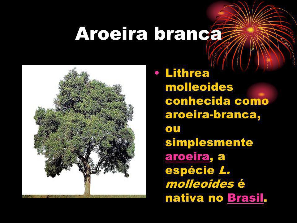 Aroeira branca Lithrea molleoides conhecida como aroeira-branca, ou simplesmente aroeira, a espécie L. molleoides é nativa no Brasil. aroeiraBrasil