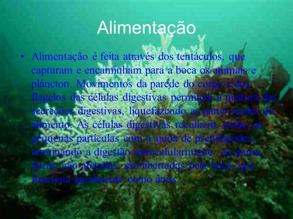 Alimentação Alimentação é feita através dos tentáculos, que capturam e encaminham para a boca os animais e plâncton.