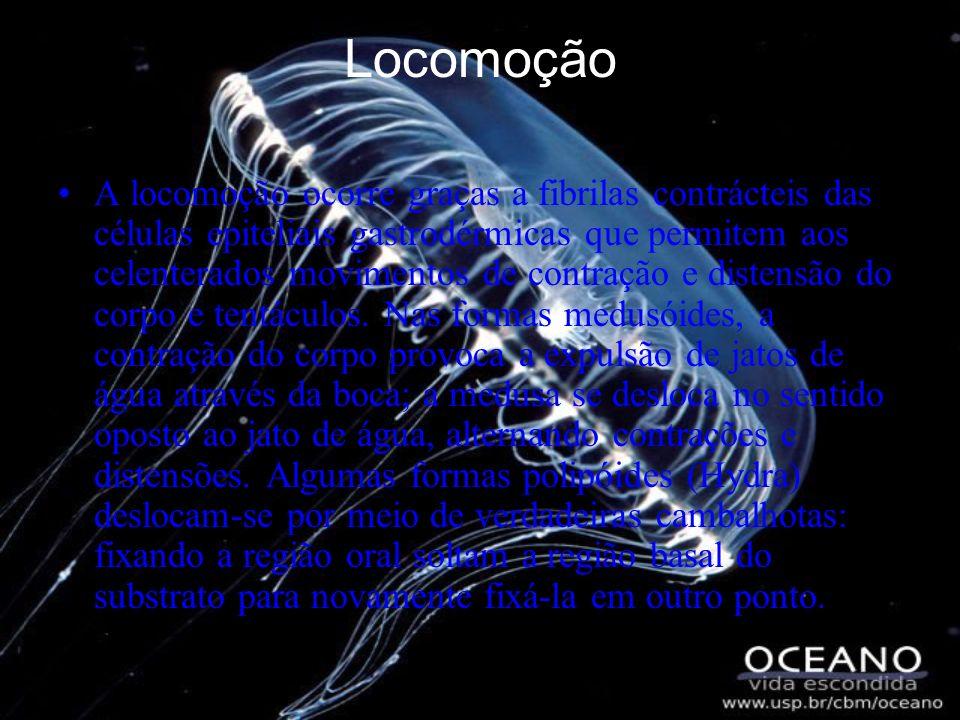 Locomoção A locomoção ocorre graças a fibrilas contrácteis das células epiteliais gastrodérmicas que permitem aos celenterados movimentos de contração e distensão do corpo e tentáculos.