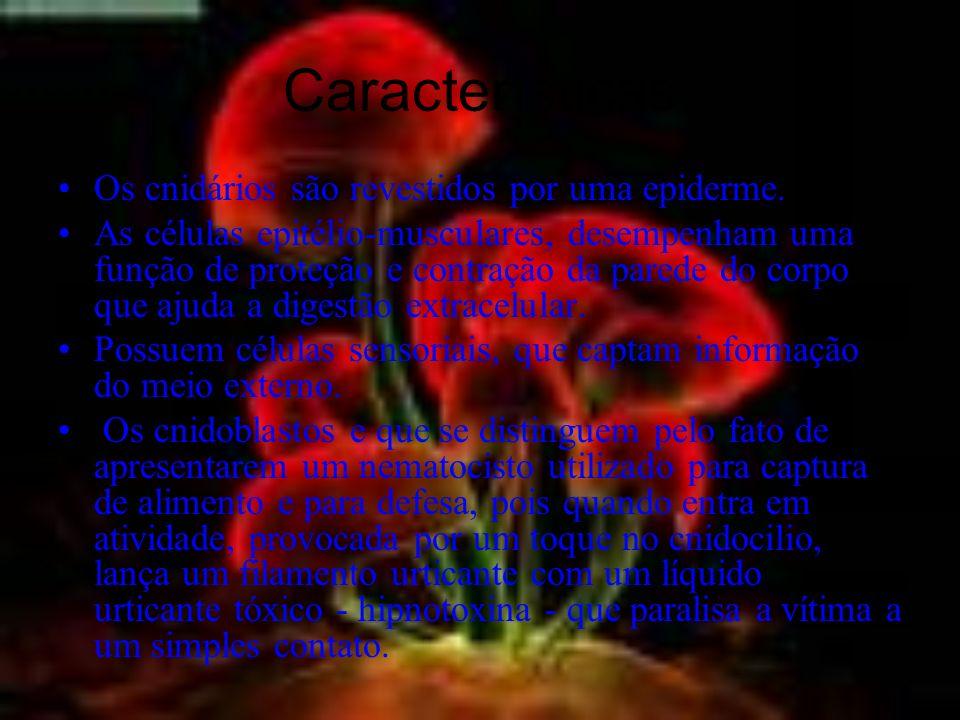 Características Os cnidários são revestidos por uma epiderme.