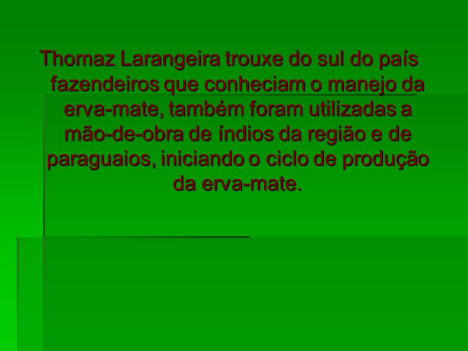 Thomaz Larangeira trouxe do sul do país fazendeiros que conheciam o manejo da erva-mate, também foram utilizadas a mão-de-obra de índios da região e d