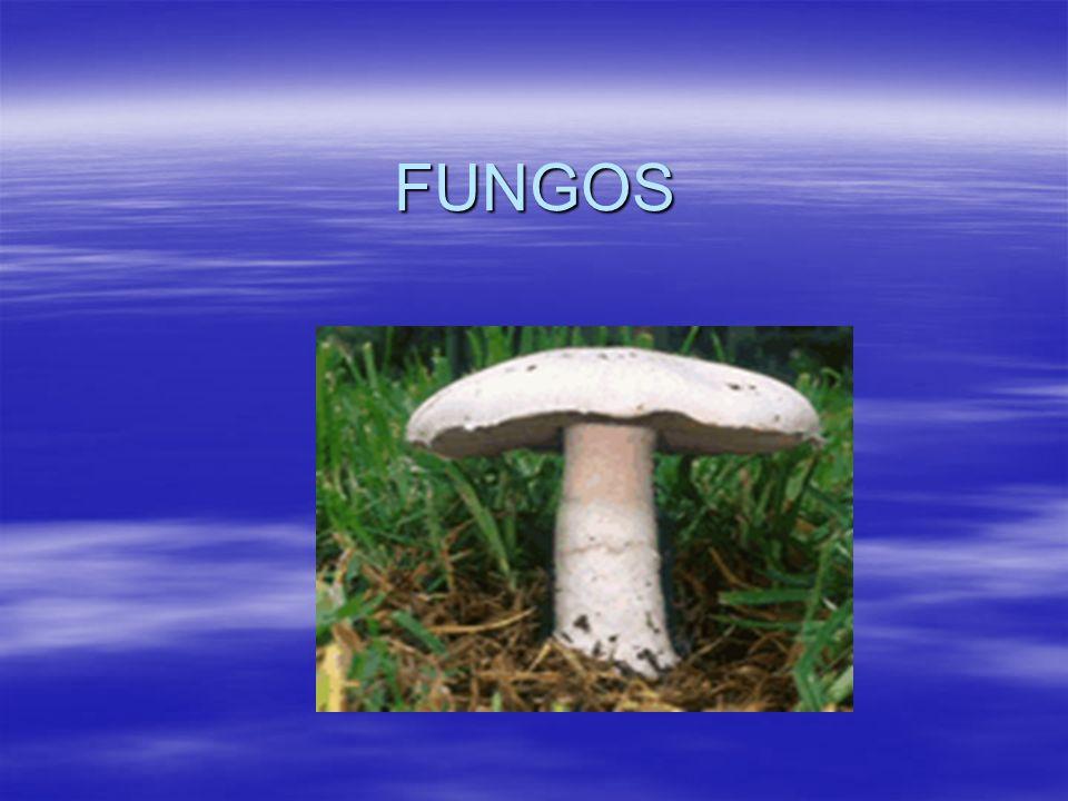 Os fungos e o meio ambiente Assim como as bactérias, os fungos desempenham o papel de decompositores na natureza.