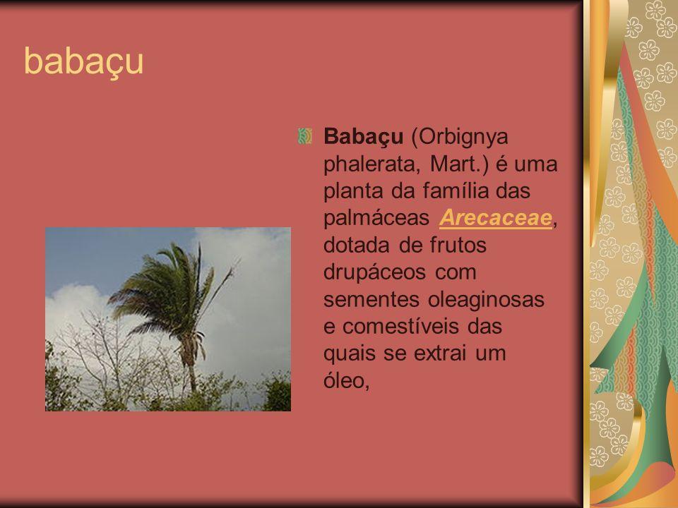 babaçu Babaçu (Orbignya phalerata, Mart.) é uma planta da família das palmáceas Arecaceae, dotada de frutos drupáceos com sementes oleaginosas e comes