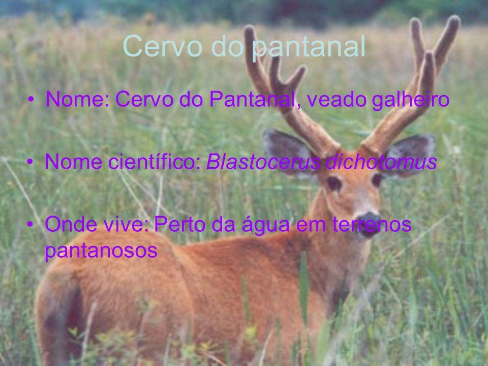Cervo do pantanal Nome: Cervo do Pantanal, veado galheiro Nome científico: Blastocerus dichotomus Onde vive: Perto da água em terrenos pantanosos