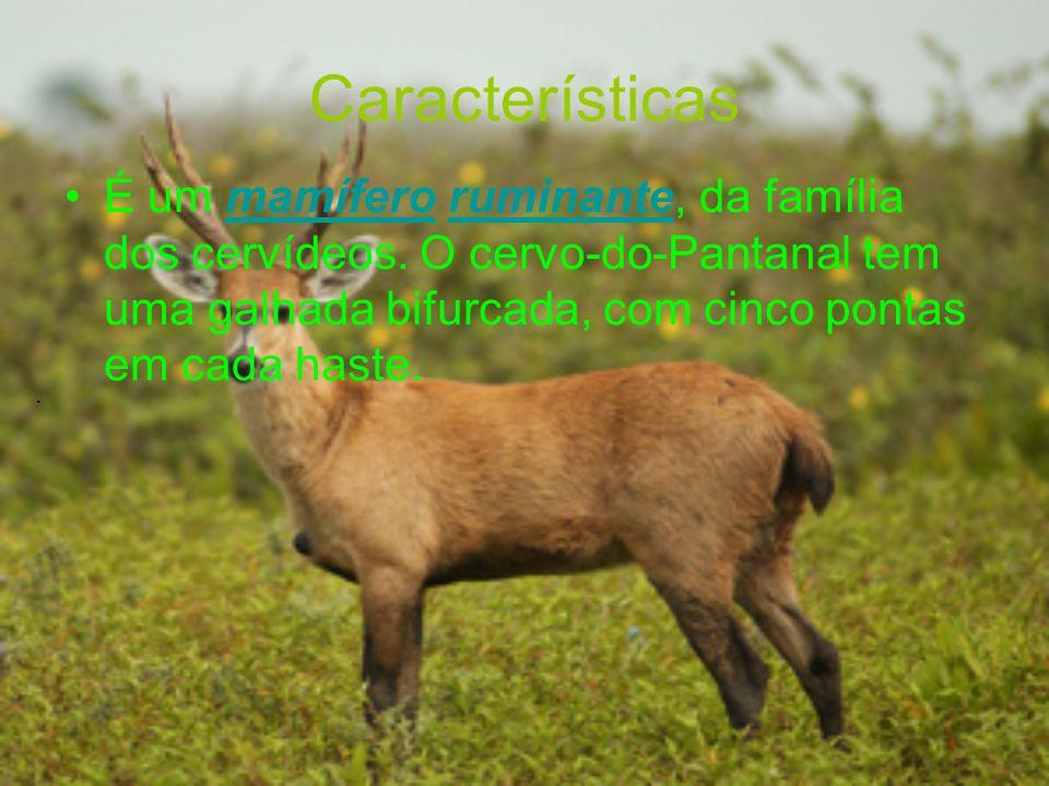 Características É um mamífero ruminante, da família dos cervídeos. O cervo-do-Pantanal tem uma galhada bifurcada, com cinco pontas em cada haste.mamíf