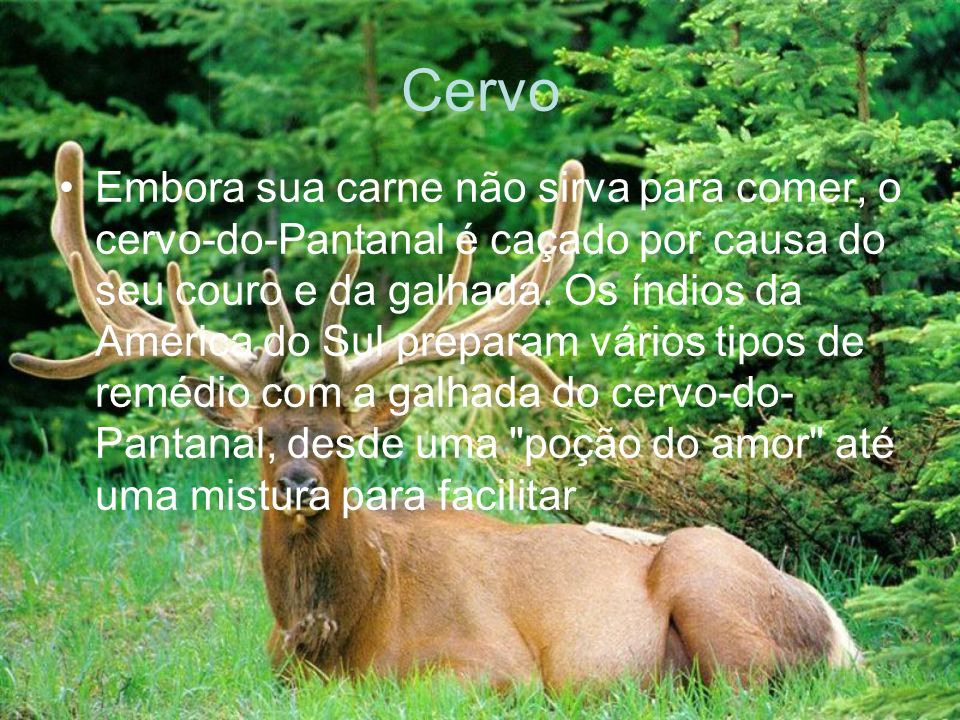 Cervo Embora sua carne não sirva para comer, o cervo-do-Pantanal é caçado por causa do seu couro e da galhada. Os índios da América do Sul preparam vá