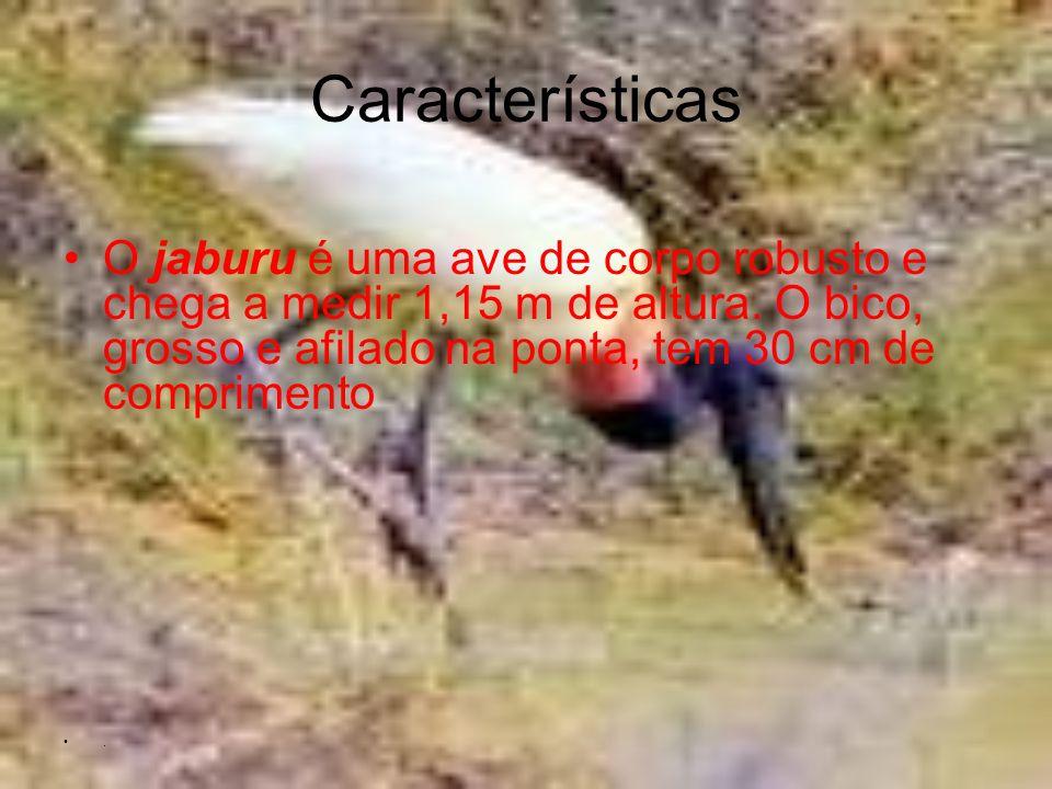 Características O jaburu é uma ave de corpo robusto e chega a medir 1,15 m de altura. O bico, grosso e afilado na ponta, tem 30 cm de comprimento.