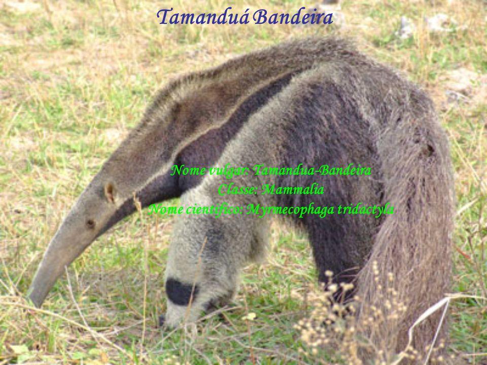 Nome vulgar: Tamandua-Bandeira Classe: Mammalia Nome cientifico: Myrmecophaga tridactyla Tamanduá Bandeira