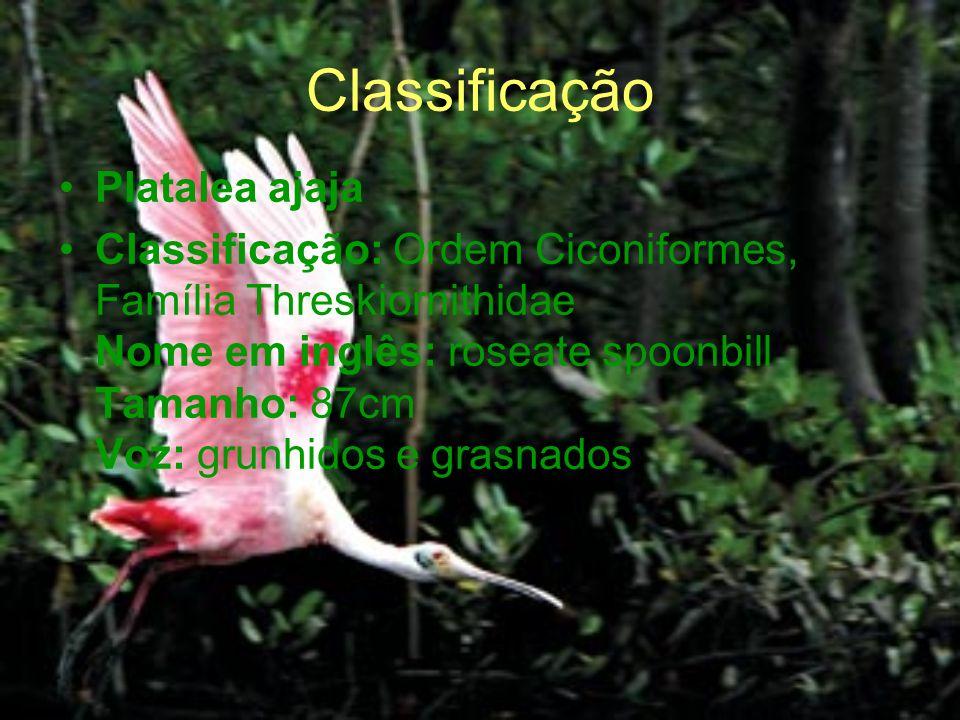 Classificação Platalea ajaja Classificação: Ordem Ciconiformes, Família Threskiornithidae Nome em inglês: roseate spoonbill Tamanho: 87cm Voz: grunhid