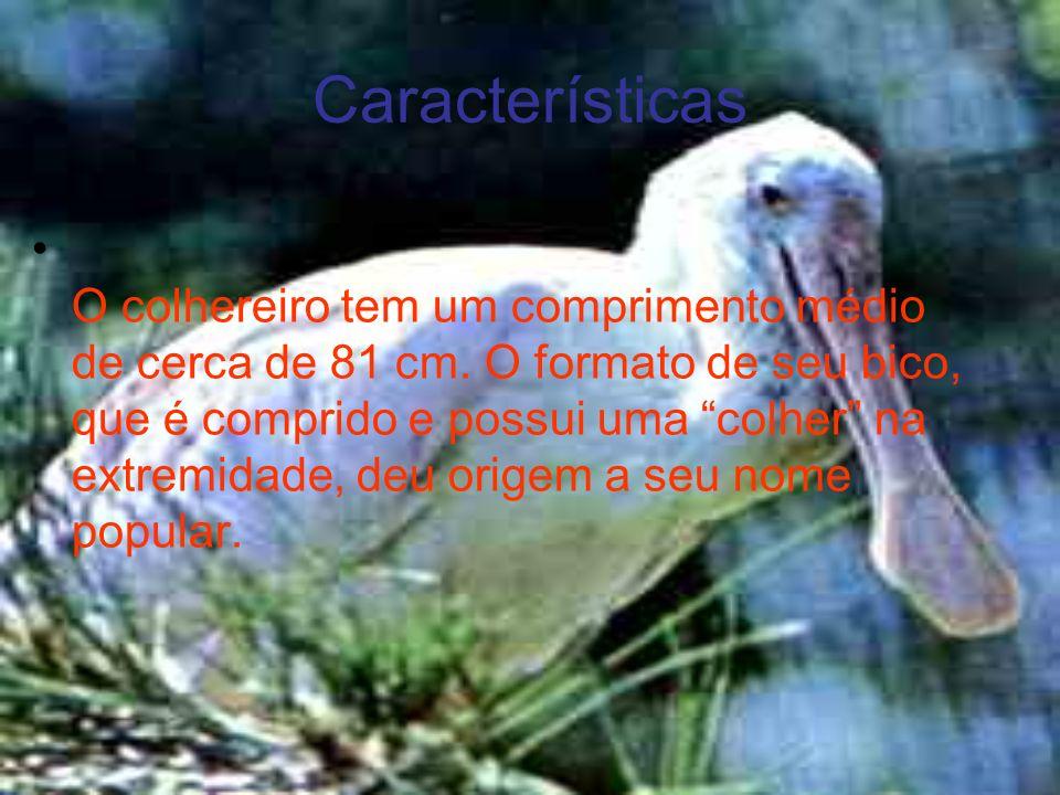 Características O colhereiro tem um comprimento médio de cerca de 81 cm. O formato de seu bico, que é comprido e possui uma colher na extremidade, deu
