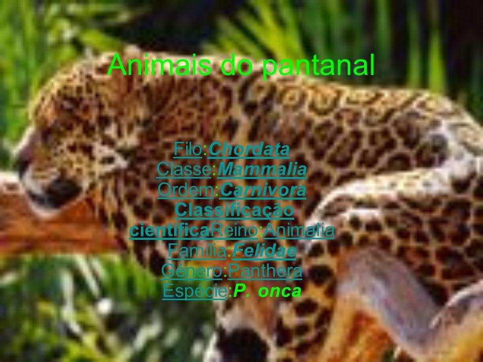 Animais do pantanal FiloFilo:Chordata Classe:Mammalia Ordem:Carnivora Classificação científicaReino:Animalia Família:Felidae Género:Panthera Espécie:P