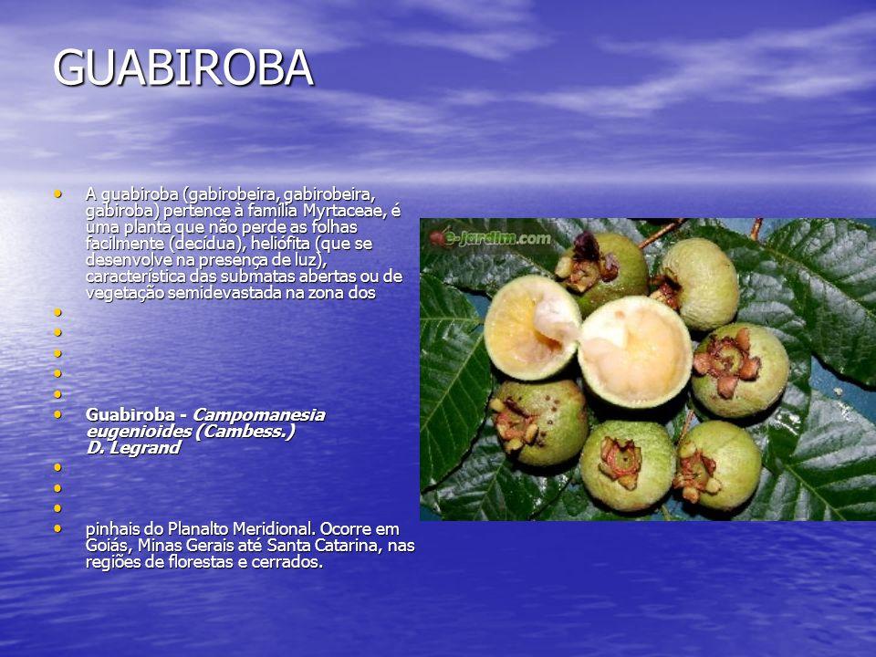 GUABIROBA A guabiroba (gabirobeira, gabirobeira, gabiroba) pertence à família Myrtaceae, é uma planta que não perde as folhas facilmente (decídua), he