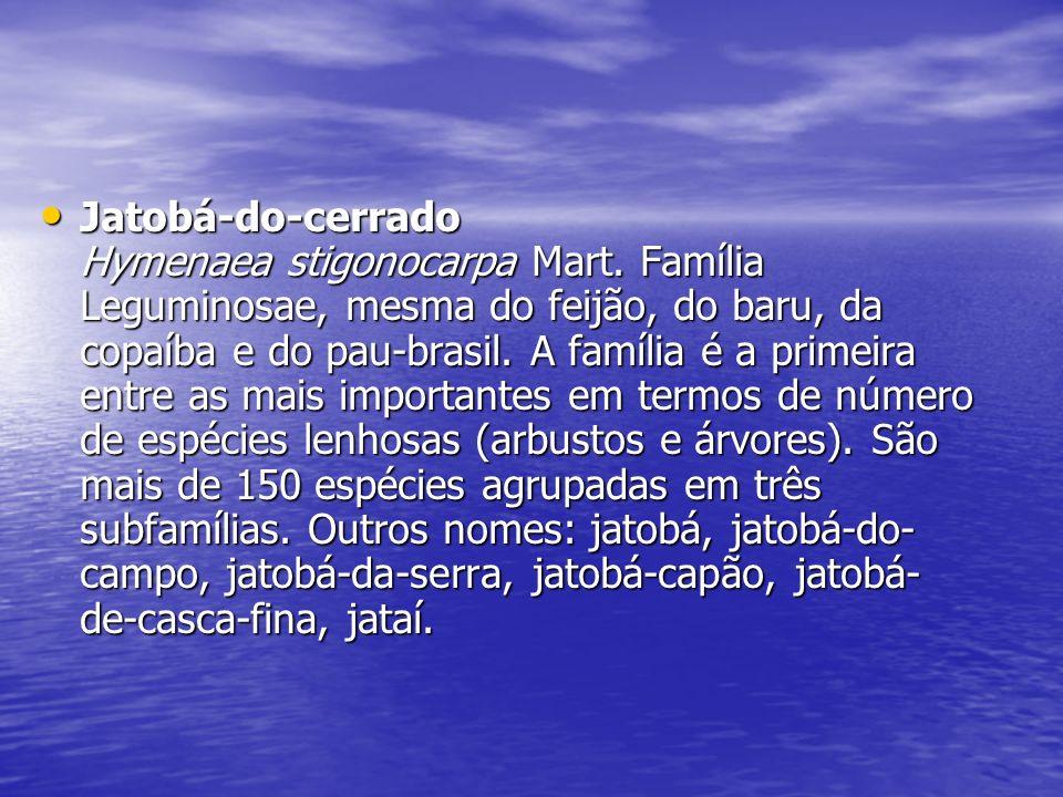 Jatobá-do-cerrado Hymenaea stigonocarpa Mart. Família Leguminosae, mesma do feijão, do baru, da copaíba e do pau-brasil. A família é a primeira entre