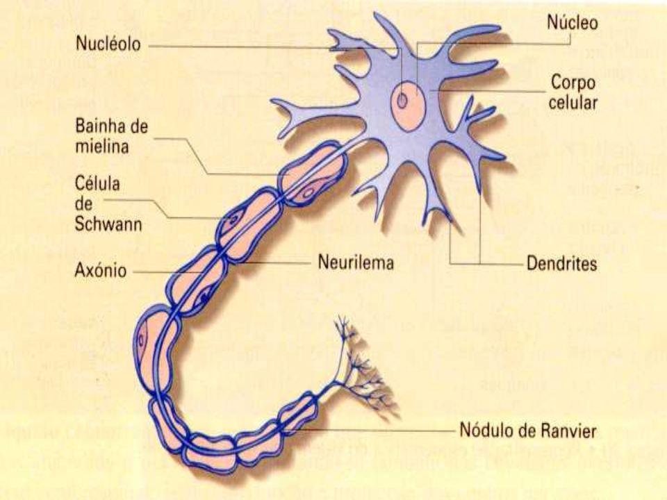 Cérebro Ocórtex cerebral, parte externa dos hemisférios, com somente poucos milímetros de espessura, é composto de substância cinzenta, em contraste com o interior do encéfalo, constituído parcialmente de substância brancaencéfalo A substância cinzenta é formada principalmente dos corpos das células nervosas e giliais células nervosas enquanto a substância branca consiste predominantemente dos processos ou fibras dessas células.