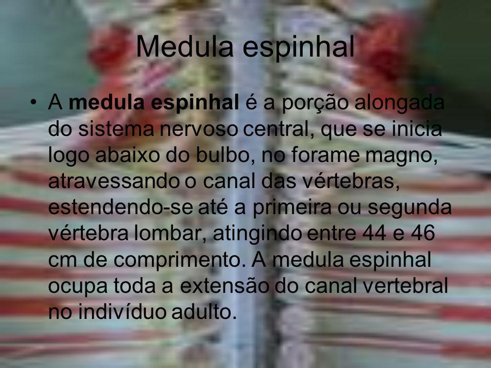Medula espinhal A medula espinhal é a porção alongada do sistema nervoso central, que se inicia logo abaixo do bulbo, no forame magno, atravessando o