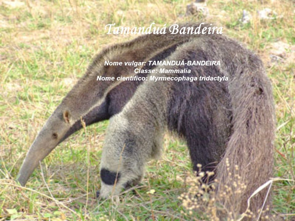 Tamanduá Bandeira Nome vulgar: TAMANDUÁ-BANDEIRA Classe: Mammalia Nome cientifico: Myrmecophaga tridactyla