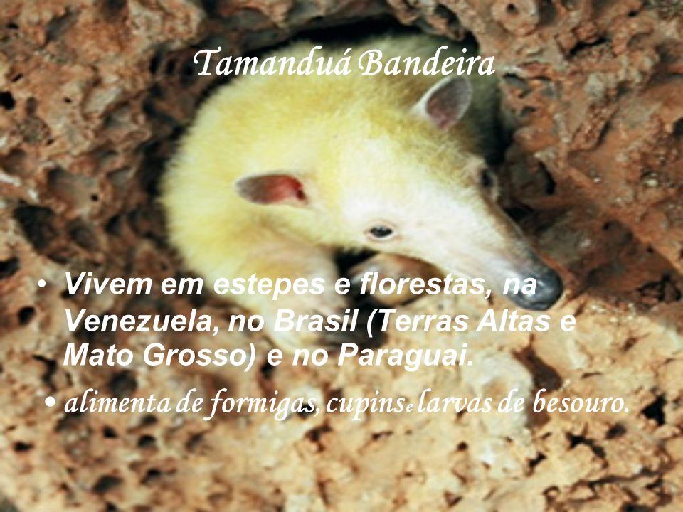 Tamanduá Bandeira Vivem em estepes e florestas, na Venezuela, no Brasil (Terras Altas e Mato Grosso) e no Paraguai. alimenta de formigas, cupins e lar