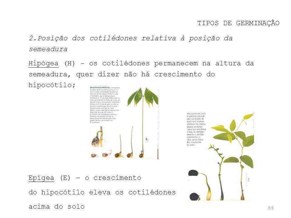 55 TIPOS DE GERMINAÇÃO 2.Posição dos cotilédones relativa à posição da semeadura Hipógea (H) - os cotilédones permanecem na altura da semeadura, quer