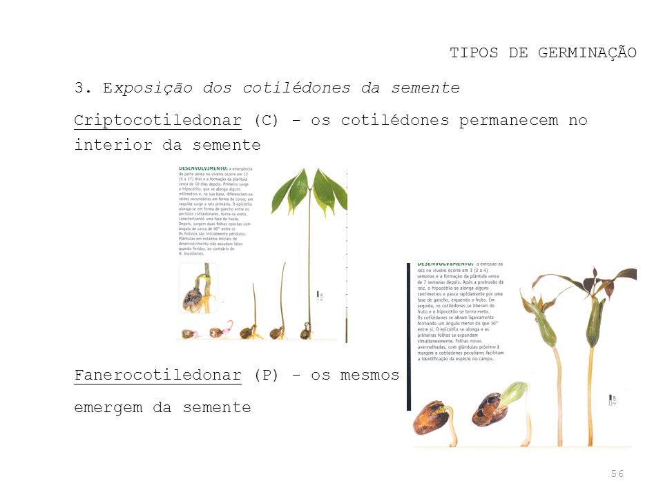 56 TIPOS DE GERMINAÇÃO 3. Exposição dos cotilédones da semente Criptocotiledonar (C) - os cotilédones permanecem no interior da semente Fanerocotiledo