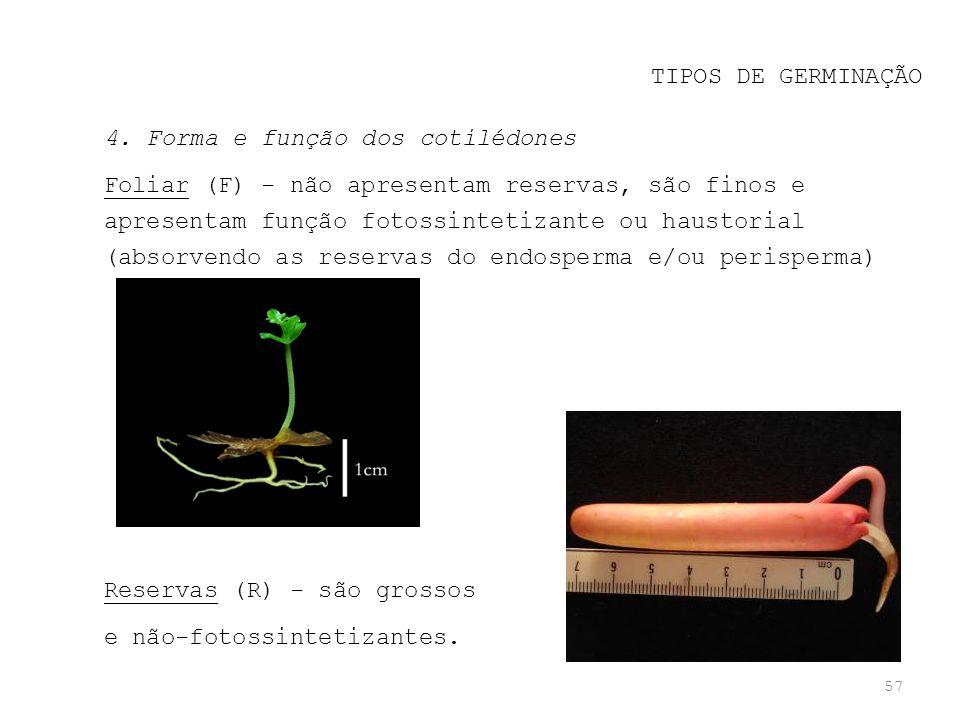 57 TIPOS DE GERMINAÇÃO 4. Forma e função dos cotilédones Foliar (F) - não apresentam reservas, são finos e apresentam função fotossintetizante ou haus